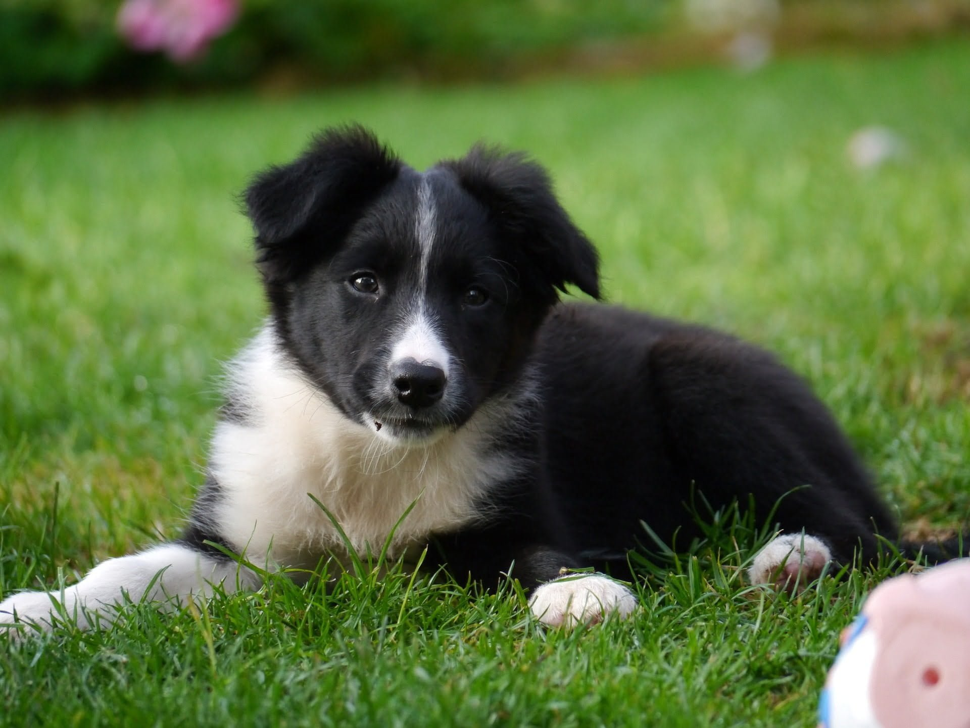 border-collie-1167898_1920